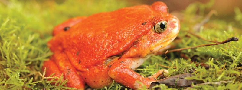 grenouilles-de-tomates